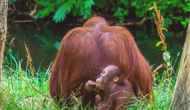 orangutání matka se svým mládětem